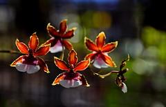 flower 1368 (kaifudo) Tags: sapporo hokkaido japan botanicalgarden flower odontoniadebutante oxbow hokkaidouniversity 札幌 北海道 北大植物園 温室 オドントニ・デビュタント オクスボウ nikon d810 sigmaapomacro150mmf28 sigma 150mm macro orchidaceae