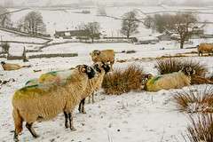 _DSC0013 - A hardy breed.. (SWJuk) Tags: gayle england unitedkingdom swjuk uk gb britain yorkshire yorkshiredales dales northyorkshire wensleydale sheep swaledalesheep hardy outdoor landscape countryside hills hillside grasses trees drystonewalls snow snowfall 2018 feb2018 winter holidays nikon d7100 nikond7100 35mm rawnef lightroomclassiccc