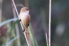 Bearded Tit/Reedling F (drbut) Tags: beardedtit beardedreedling panurusbiarmicus somersetlevels bird birds reeds reedbeds nature wildlife canonef500f4lisusm