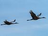 IMGPJ32773_Fk - Jackson County Indiana - Migratory Birds - Ewing Bottoms - Sandhill Cranes (David L. Black) Tags: olympusomdem1mkii olympus300f4014xtc birds sandhillcranes jacksoncountyindiana