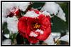 l'hiver sur les camelias 2 (patrick Thiaudiere, thanks for 1,5 million views) Tags: rouge red fleur flower hiver snow