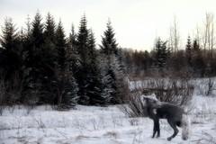From Iceland. (Tóta. 27.12.1964.) Tags: winter fox trees snow sky iceland ísland
