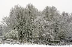 The copse (GaryJohn) Tags: pentaxk5 pentaxlimitedlens hd70mmlimited woodland wood trees westyorkshire yorkshire snow huddersfield stortheshall