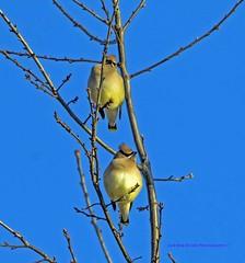 Cedar Waxwing (rumerbob) Tags: cedarwaxwing songbird avian bird birdwatching birdwatcher peacevalleypark lakegalena wildlife wildlifephotographer wildlifewatcher nature naturewatcher naturephotography canon7dmarkii canon100400mmlens