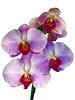 Orchidee -18- (Jan 1147) Tags: orchidee orchid bloem bloemen flower flowers white wit belgium depinte
