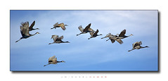 Traffic (J Michael Hamon) Tags: sandhillcrane crane sandhill bird birding wildlife animal outdoor nature widescreen dropshadow sky flock hamon nikon d3200 nikkor 55300mm photoborder jacksoncounty indiana