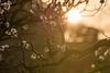 大阪城公園21・Osaka Castle Park (anglo10) Tags: 大阪市 大阪府 japan 大坂城 城 castle 梅 flower 夕景 sunset