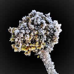 Bouquet givré ! (watbled05) Tags: glace givre gel mousse fondnoir
