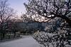 大阪城公園39・Osaka Castle Park (anglo10) Tags: 大阪市 大阪府 japan 大坂城 城 castle 梅 flower 夕景 sunset
