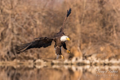 Bald Eagle makes the catch - 13 of 33