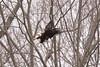 the approach (petespande) Tags: bird longisland bald eagle naturephotography
