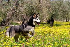 LIVNI #husky #spring #nature_photography #photography #capture #photooftheday #pic #photo #pets #photo_art #naturelovers #beauty #flickr (salam.jana) Tags: husky spring naturephotography photography capture photooftheday pic photo pets photoart naturelovers beauty flickr