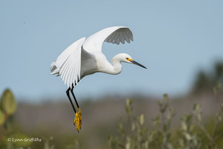 Snowy Egret - Just hanging around 500_5852.jpg