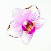 Imperfection (FotoCorn) Tags: orchidee imperfection macro flora flower macromondays happymacromonday hmm2018 happymacromondays bloem hmm orchid