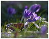 Dance into the light (FocusPocus Photography) Tags: krokus crocus blume flower regentropfen raindrops