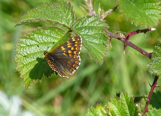 Duke of Burgundy butterfly, Hampshire, UK