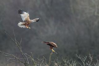 Marsh harriers mating #1 of  6 (Westhay Moor NNR)