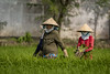 Rice Cultivation (Alexis Rangaux) Tags: vietnam travel travellers people woman rice