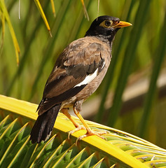 Common Myna or Indian Myna (watertownshelby) Tags: myna french polynesia