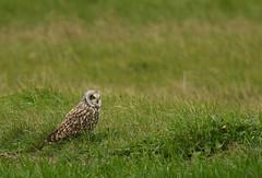 Hibou des marais - Short-Eared Owl (Asio flammeus) (Ziza !) Tags: oiseau bird hibou hiboudesmarais shortearedowl asioflammeus rapace tamronsp150600mmf563divcusdg2 nikond500