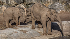 Little ones plotting (JKmedia) Tags: asian elephant boultonphotography 2018 february chesterzoo close animal trunk indian hiwayherd baby calf dirty soil sand brown sibling drinking pool water curly