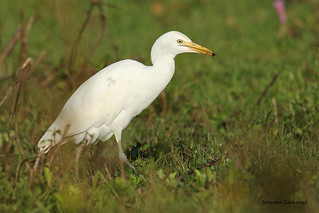 Héron garde-boeufs (Cattle Egret)