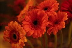 Image 14-03-2018 at 02.32 (1) (Andrew David Photos) Tags: canon50mm 50mm gerbera cutflowers stilllife orange