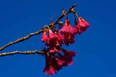 カンヒザクラ Taiwan cherry tree (takapata) Tags: sony sel90m28g ilce7m2 macro nature flower cherry sakura