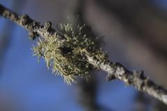 lichen (bulbocode909) Tags: valais suisse lichens champignons nature branches mélèzes vert bleu montagnes