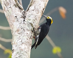 Yellow-tufted Woodpecker (Melanerpes cruentatus) (Frank Shufelt) Tags: yellowtuftedwoodpecker melanerpescruentatus picidae woodpecker passeriformes songbirds birds aves nature wildlife caquetá colombia southamerica february2018 20180214 20181114 5909 lifer