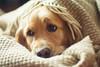 Feeling sleepy today... (Oksana Yefimenko) Tags: dog doggy goldenretriever sleepy cute nice woolenthrow morning daylight 50mm namisunshine cozy