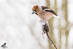 Coccothraustes coccothraustes (nonnogrizzly) Tags: coccothraustescoccothraustes frosone aves uccelli birds natura fauna animale bosco albero