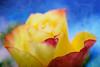 Addicted to color (Karsten Gieselmann) Tags: 60mmf28 blau blumen blüten bokeh dof em5markii gelb mzuiko microfourthirds natur olympus pflanzen rose rot schärfentiefe textur wonderland2 blossom blue flower kgiesel m43 mft nature red texture yellow burglengenfeld bayern deutschland