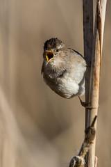 Clarke_180316_1115.jpg (www.raincoastphoto.com) Tags: birds cistothoruspalustris birdsofbritishcolumbia wrens marshwren birdsofnorthamerica birdsofcanada britishcolumbia canada