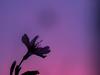 おかめ桜 (Polotaro) Tags: mzuikodigital45mmf18 flower nature olympus epm2 pen 花 自然 オリンパス ペン おかめ桜 3月