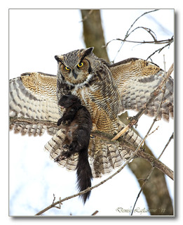 1E1A6755-DL  Grand-duc d'Amérique / Great Horned Owl.