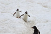 Penguin highway (Travels with Kathleen) Tags: antarctica cuvervilleisland gentoos penguins birds animals wildlife snow ngc