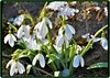 First snowdrops (Ioan BACIVAROV Photography) Tags: snowdrops spring flower flowers snow nature natura bacivarov ioanbacivarov bacivarovphotostream interesting beautiful wonderful wonderfulphoto nikon