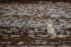 Snowy Owl (murf50) Tags: owensound paulmurphy owl raptor raptors snowyowl