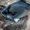 Brandt's Cormorant Turning the Eggs (halladaybill) Tags: brandtscormorant chicks lajolla lajollacove nesting nestling sandiego california unitedstates us nikond850 nikkor80400zoomlens