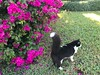 Pets and Bougainvillea (miamism) Tags: tux boungainvillea miamilandscaping