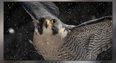 Faucon pèlerin / Peregrine Falcon / Falco peregrinus (FRITSCHI PHOTOGRAPHY) Tags: elios chouetteàvoir uqrop saintjudeqcca fauconpèlerin peregrinefalcon falcoperegrinus