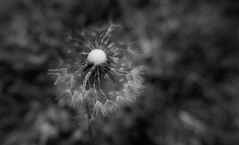 Only a few seeds left B&W (Monceau) Tags: dandelion seedhead seeds macro bokeh blackandwhite monochrome fairviewriversidestatepark madisonville louisiana