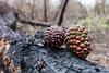 colori delle pigne (luigi ricchezza) Tags: bosco bruciato pigne tree