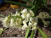 Hyacinthus orientalis_Chicago Holland6 (Alka Khare) Tags: hyacinthus asparagaceae