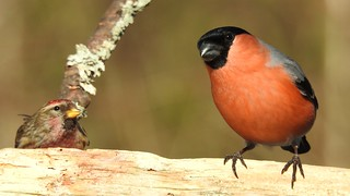 Bullfinch and Redpoll