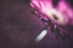 Gerbera + Texture (Janet_Broughton) Tags: lensbaby sweet80 flower gerbera textured