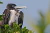 Magnificent Frigatebird (Fregata magnificens) (tomaszberlin) Tags: wildelife caymans littlecayman magnificent frigatebird fregata magnificens birding birdwatching nature marine mangrove ngc