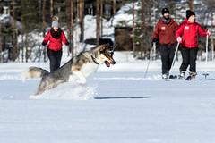 dog jumping on a skiing trip (VisitLakeland) Tags: gog jump ski snow forest metsäkartano finland rautavaara outdoor active umpihankihiihto koira hiihtää aktiviteetti talvi lumi