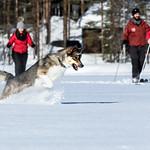 dog jumping on a skiing trip thumbnail